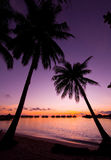 Coconut tree in shilouttee on tropical island. Coconut tree in silhouette on tropical island of Mabul during sunrise Stock Photo