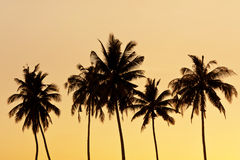 Coconut tree silhouette Royalty Free Stock Image