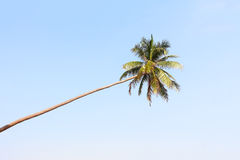 Coconut tree  silhouette Royalty Free Stock Photos