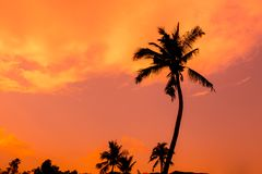 Coconut tree. Silhouette ,sun set Stock Photo