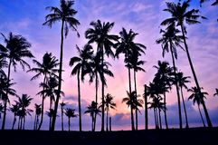 Coconut tree silhouetted Royalty Free Stock Photo