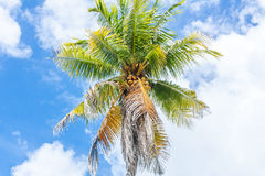 Coconut tree. On the sky Stock Photography