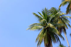 Coconut tree. With the sky background royalty free stock photography