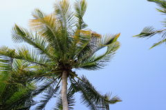 Coconut tree. With the sky background stock photography