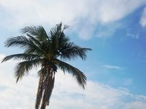 Coconut tree on sky background and white cloud. royalty free stock images