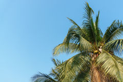 Coconut tree with sky on summer. Coconut tree with blue sky on summer Royalty Free Stock Image