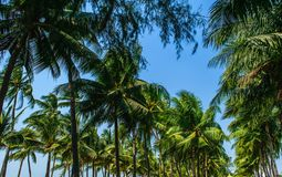 Coconut tree and sky. Coconut tree in Thailand stock photo
