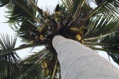 Coconut tree on the tree stock photo
