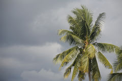 Coconut tree in stormy weather. A coconut tree in cloudy and stormy tropical weather Stock Image
