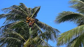 Coconut tree with strong wind stock video footage