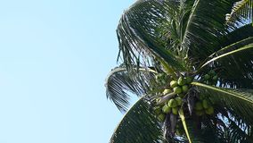 Coconut tree with strong wind stock video
