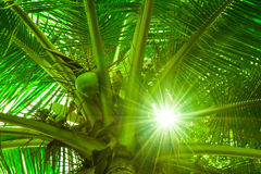 Coconut tree and the sunlight Royalty Free Stock Photo