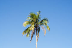 Coconut tree on sunny day Royalty Free Stock Photos