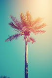Coconut tree in sunny day Royalty Free Stock Images