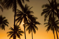 coconut tree during sunset Stock Photography