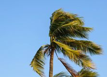 Coconut tree. Thailand royalty free stock photo
