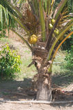 Coconut on the tree Royalty Free Stock Image