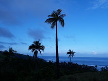 Coconut Tree. Three Coconut Tree in the Pacific Islands stock photography