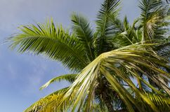 Coconut tree to reveal the beautiful blue sky background and coconut tree leaves Royalty Free Stock Photos