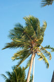 Coconut tree top. With blue sky Stock Photography