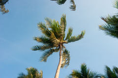 Coconut tree top. With blue sky Royalty Free Stock Photos