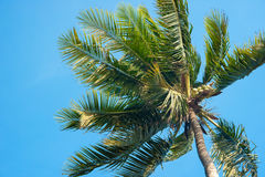 Coconut tree top. With blue sky Stock Image