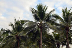 Coconut tree. Royalty Free Stock Images