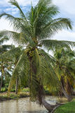 Coconut tree. S leaning near waterfront Stock Photo