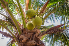 Coconut on a tree Royalty Free Stock Photos
