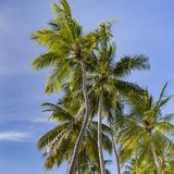 Coconut tree in tropical island Royalty Free Stock Photos