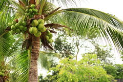 Coconut tree. Tropical in thailand Royalty Free Stock Photos