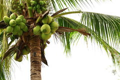 Coconut tree. Tropical in thailand Stock Photography