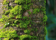 Coconut Tree Trunk with Vibrant Green Mosses, for Background and Plant Texture. With Selective Focus Stock Photography