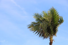 The Coconut Tree Under Blue Sky Stock Photo