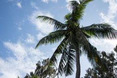 Coconut. Tree under blue sky and bright sun Royalty Free Stock Photos