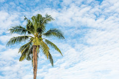 Coconut tree under blue sky and cloud Royalty Free Stock Photo