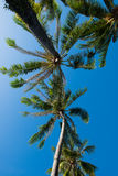 Coconut tree under blue sky in summer Royalty Free Stock Images