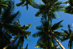 Coconut tree under the blue sky on a summer day Royalty Free Stock Photos