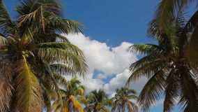 Coconut tree under blue sky with sunlight. stock video