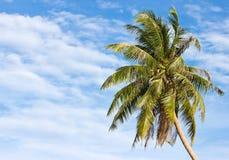 Coconut Tree. Royalty Free Stock Photo