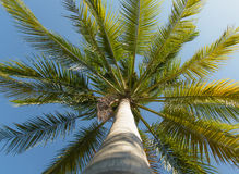 Coconut tree. With vertical direction and blue sky stock photography