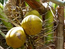 Coconut on a tree Vietnam Royalty Free Stock Photography