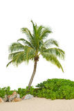 Coconut tree. On white background Stock Photos