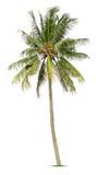 Coconut tree. On white background Stock Image