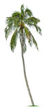 Coconut tree. On white background Stock Images
