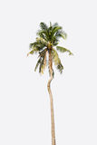 Coconut  tree  on white background Stock Photos