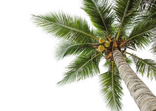 Coconut tree on white. Coconut tree and white sky background Royalty Free Stock Images