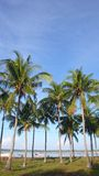 Coconut tree Royalty Free Stock Photos