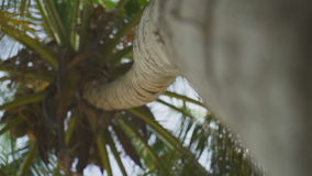 Coconut tree in the wind stock footage