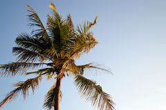 Coconut tree in the Windy Day Royalty Free Stock Photos